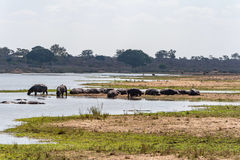Hippopotamus in Kruger National Park, South Africa Stock Image