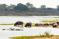 Hippopotamus in Kruger National Park, South Africa Stock Photos