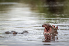 Hippopotamus in Kruger National park, South Africa Royalty Free Stock Images