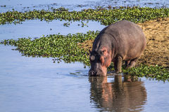 Hippopotamus in Kruger National park, South Africa Royalty Free Stock Photo