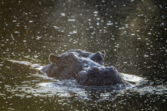 Hippopotamus in Kruger National park, South Africa Royalty Free Stock Image