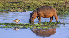 Hippopotamus in Kruger National park, South Africa Stock Photography