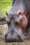 Hippopotamus in Kruger National park, South Africa Royalty Free Stock Photos