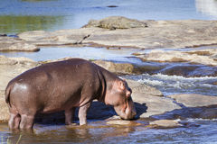 Hippopotamus in Kruger National park Stock Image
