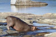 Hippopotamus in Kruger National park Stock Photography