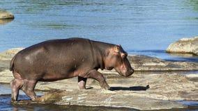 Hippopotamus in Kruger National park Royalty Free Stock Image