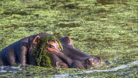 Hippopotamus in Kruger National park Royalty Free Stock Photography