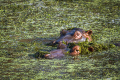 Hippopotamus in Kruger National park Stock Photo