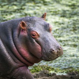 Hippopotamus in Kruger National park Royalty Free Stock Images