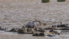 Hippopotamus in the lake Stock Photography