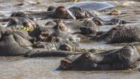 Hippopotamus in the lake Royalty Free Stock Photography