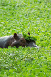 Hippopotamus in a lake with lilly plants Stock Photo