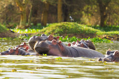 Hippopotamus, Lake Naivasha Stock Photos