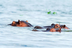 Hippopotamus, Lake Naivasha Royalty Free Stock Photos