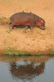 Hippopotamus on land Royalty Free Stock Photo