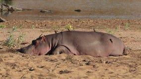Hippopotamus on land stock video footage