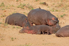 Hippopotamus on land Stock Images