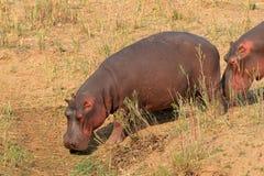 Hippopotamus on land. Hippos Hippopotamus amphibius on land, Kruger National Park, South Africa Stock Photography