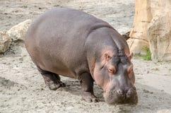 Hippopotamus on land. Hippopotamus on the land walking Royalty Free Stock Image