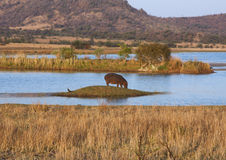 Hippopotamus Landscape. African bush landscape with a Hippopotamus in the background Royalty Free Stock Image