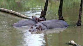 Hippopotamus (lat. Hippopotamus amphibius) stock video