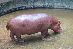 It is a hippopotamus that lives at KHON KAEN zoo. Animal,  it is a hippopotamus that lives at KHON KAEN zoo,  in KHON KAEN province THAILAND royalty free stock photography
