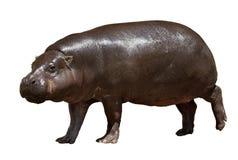 Hippopotamus Lokalisiert über Weiß Lizenzfreie Stockbilder