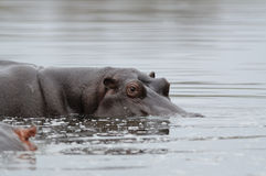 Hippopotamus is Looking Out of  The Water. The hippo or river horse is a very large mammal, which you can find in africa Royalty Free Stock Photos