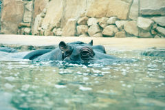 Hippopotamus looking out of the water Stock Photos