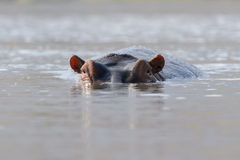 Hippopotamus  looks in the camera Royalty Free Stock Photography
