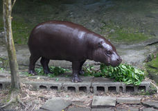 Hippopotamus Lunch Time at the Zoo Royalty Free Stock Photography