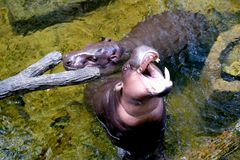 The hippopotamus lying in the water stock images