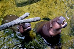 The hippopotamus lying in the water. At the zoo royalty free stock image