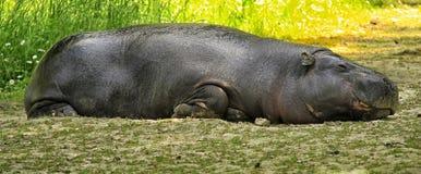 Hippopotamus. A magnificent specimen of hippopotamus Royalty Free Stock Photos
