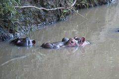 Hippopotamus in Mara River Stock Photography