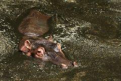Hippopotamus, Masai Mara stock images