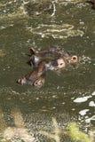 Hippopotamus, Masai Mara royalty free stock image