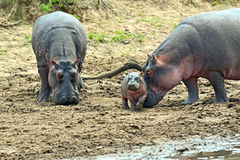 Hippopotamus Masai Mara Stock Images
