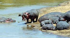 Hippopotamus Masai Mara Royalty Free Stock Photography