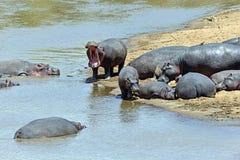 Hippopotamus Masai Mara. Hippos in the river Mara National Park Masai Mara stock images