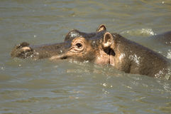 Hippopotamus - Masai mara Kenya imagens de stock