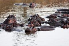 Hippopotamus masai mara river kenya Stock Photos