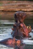 Hippopotamus, Masai Mara stock photos