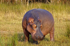Hippopotamus maschio Immagine Stock Libera da Diritti