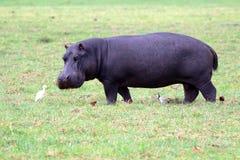 Hippopotamus in the meadow Stock Photo