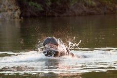 Hippopotamus minaccioso Fotografia Stock Libera da Diritti
