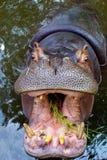 Hippopotamus mit geöffnetem Mund lizenzfreies stockfoto