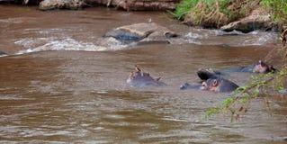 Hippopotamus mit Rot-berechnetem Oxpeckers. Stockbild