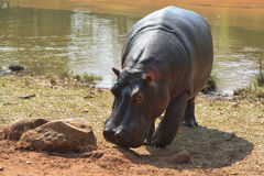 Hippopotamus in Mlilwane Wildlife Sanctuary. Royalty Free Stock Images