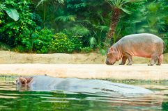 Hippopotamus mother and a baby Stock Photo